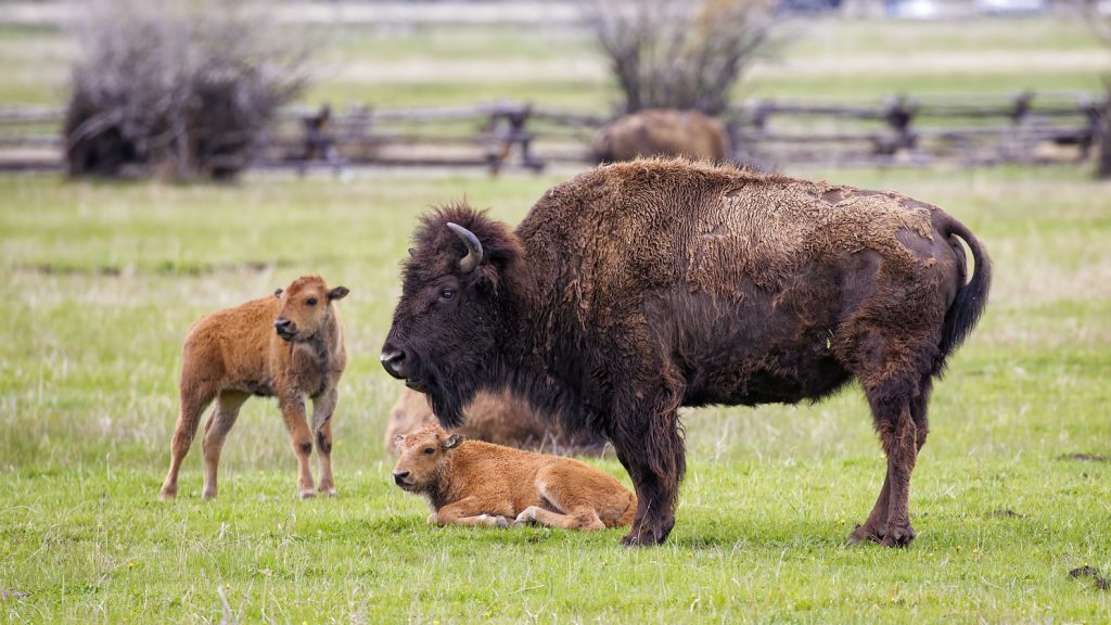 Bison with its young in a field.